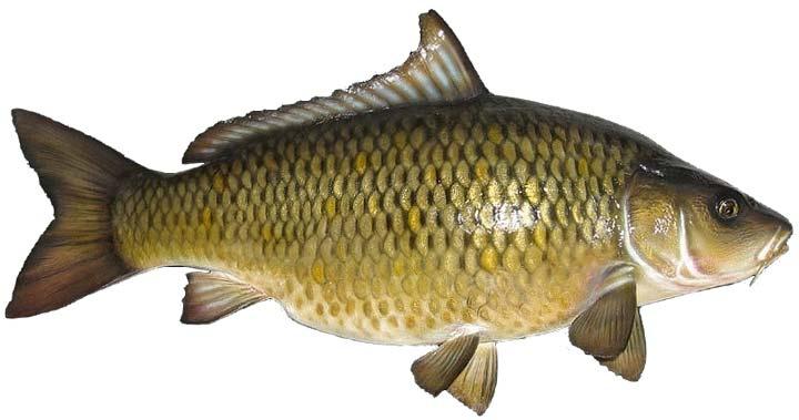 тесто для ловли рыбы с чесноком